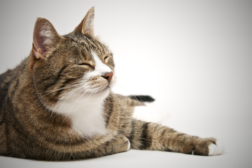 Hyperthroidism In Cats
