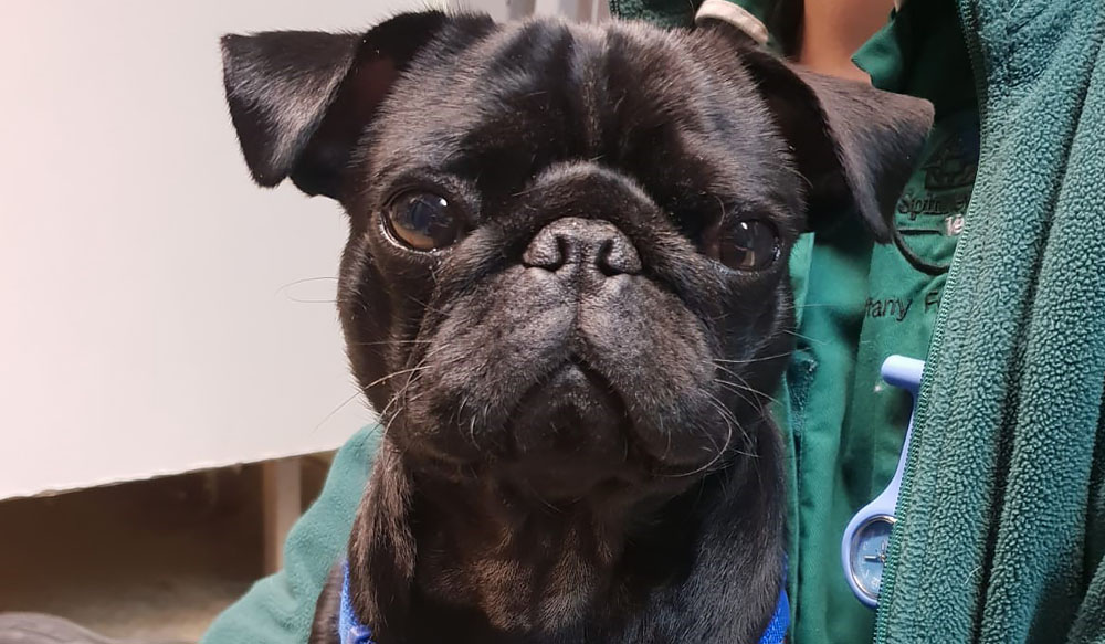 Poorly Pug Dave recovering at Spinney Lodge Veterinary hospital after scoffing toxic mushrooms