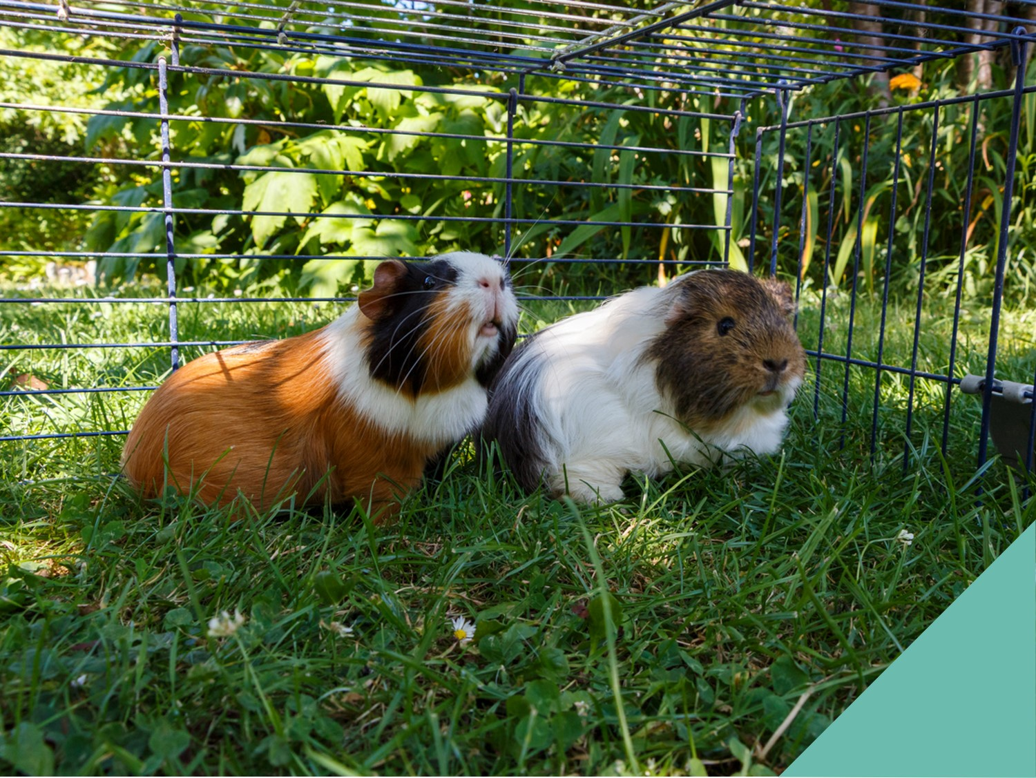 Two guinea pigs outside in a cage