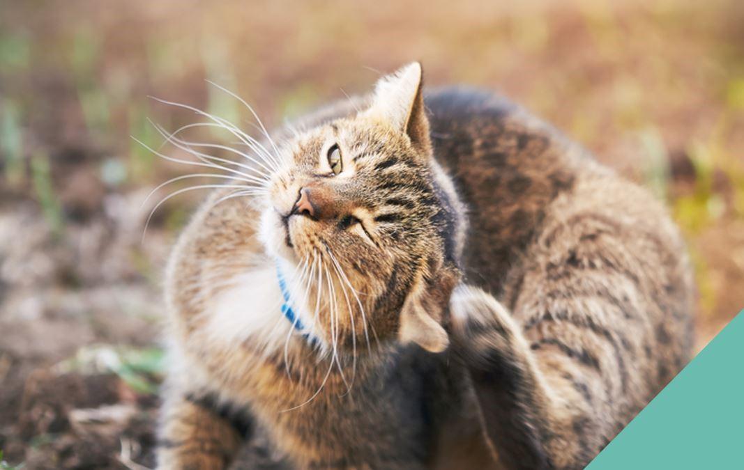 Tabby Cat Scratching Ears