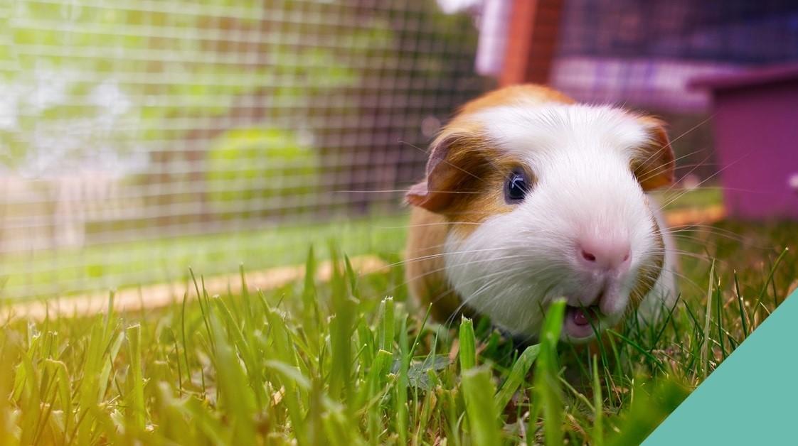 Guinea Pig On Grass